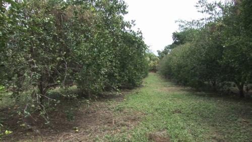 Orange trees in orchard